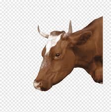 العجل الأبيض والأسود الماشية العجل Hereford الأغنام الحية