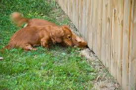 5 Tips To Get Your Dachshund To Stop Digging