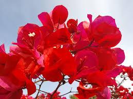 beautiful red flowers free stock photo
