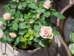 growing roses in containers how to
