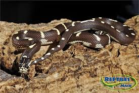 king snake care sheet reptiles by mack