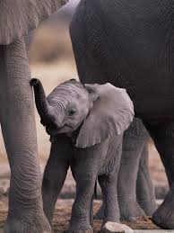 66yllfn cute baby elephant wallpaper