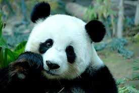 ultra hd panda bear wallpapers pm51b19