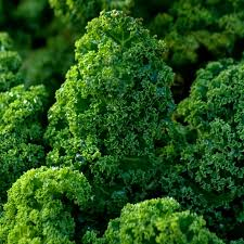 Kale - Dwarf Green Curled Afro - Tozer Seeds : Tozer Seeds