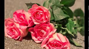 ورود جميلة ورود وحب ورود ورود الحب ورود حمراء ورود بيضاء