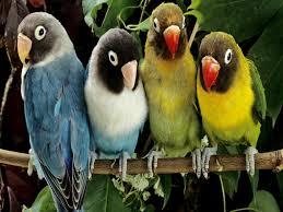 صور خلفيات عصافير في أحلي البوم لعصافير الكناري ميكساتك