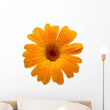 Yellow Wet Gerber Daisy Wall Decal By Wallmonkeys Peel And Stick Graphic 18 In W X 12 In H Wm97972 Walmart Com Walmart Com
