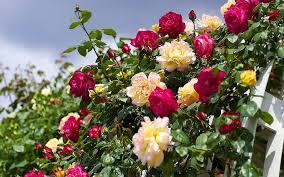 الورود في تصميم المناظر الطبيعية 75 أمثلة في الصورة في الحديقة