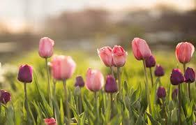 arti dari tulip bunga cantik nan anggun outerbloom