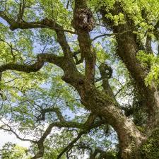 Ho Wood (ct. Linalol) (Cinnamomum camphora) Essential Oil | Aliksir