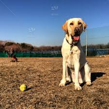 Fence Dog Animals Collar Ball Labrador Canine Pet Tongue Fur Humans Tag Leash Stock Photo Ca7f1316 9882 404e 969c 02650f133d33