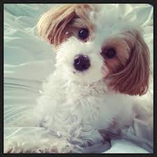 akc registered toy poodles maltipoos