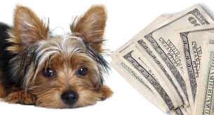 how much is a yorkshire terrier puppy