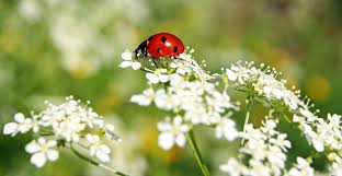 benefits of ladybugs and how to attract