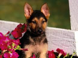 german shepherd puppy wallpaper free hd