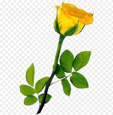 yellow rose transpa background