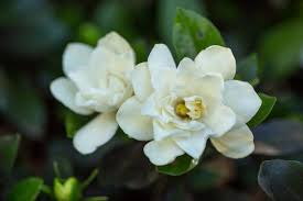 grow and care for gardenia plants