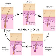 hair growth cycle village dermatology