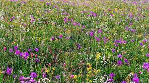 top perennial plants for wildflower meadows