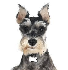 schnauzer miniature puppies
