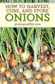 harvesting curing and storing onions