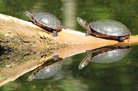 Turtles Are They Hurting My Pond