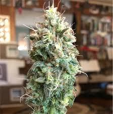 Amnesia Haze Marijuana Strain Information | Leafly