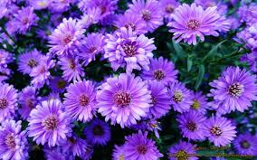 صور ورود بنفسجية اجمل الازهار البنفسجية حنان خجولة