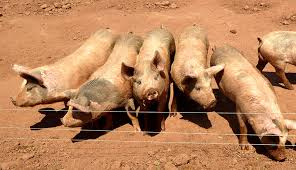 Use A Solar Powered Portable Electric Fence To Pasture Your Pigs Hobby Farms