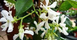 Star Jasmine Better Homes Gardens