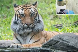 Bronx Zoo says tiger didn't get a human ...