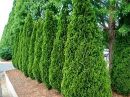 Deer Resistant Trees And Shrubs The Tree Center
