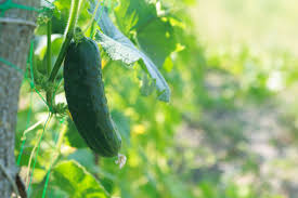 Cucumbers Which Varieties Did Best And How To Use Them The Old Farmer S Almanac
