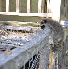 What Do I Need To Know About Raccoons If I Keep Chickens My Pet Chicken