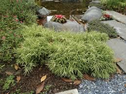 bamboo bush top tips on bush like