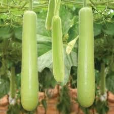 vegetable seeds bottle gourd