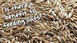 oats and how feeding them could