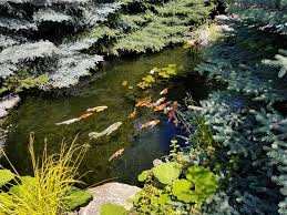 spend part of your day feeding the koi