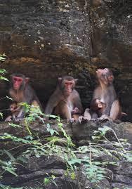 อยู่นี่แล้วอุ่นใจ! ครอบครัวลิงแม็กแคกขยายตัว หลังสภาพแวดล้อมในฉงชิ่งพัฒนา 1