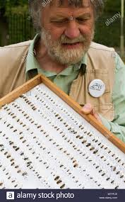 Scientist Ivan Wright with sample of pinned bees caught during ...