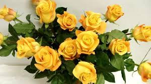 best yellow rose hd natural wallpaper