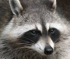 How Do You Get Rid Of Raccoons Tips And Tales On Raccoons And Cats Dengarden Home And Garden