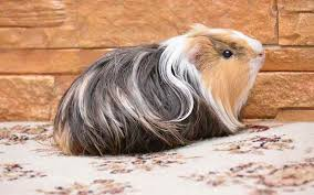 guinea pig cage size guide the best
