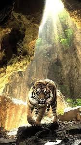 النمور تعيش خلفيات For Android Apk Download