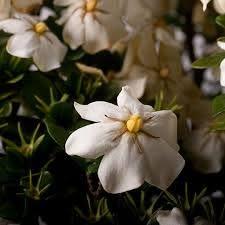 white fragrant blooms