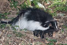 Get Rid Of Skunks Humane Wildlife Control Society