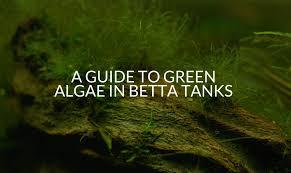 a guide to green algae in betta tanks