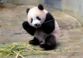 Adorable baby panda makes debut at ...