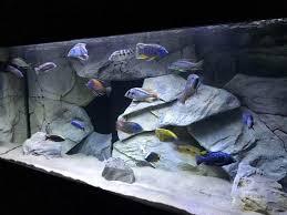 220 gallon african cichlid aquarium