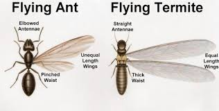 39+ Difference Between Ant And Termite Background